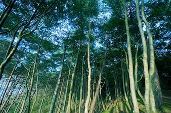 árvores finas