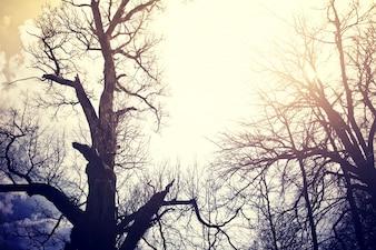 Árvores mortas antigas sobre o céu.