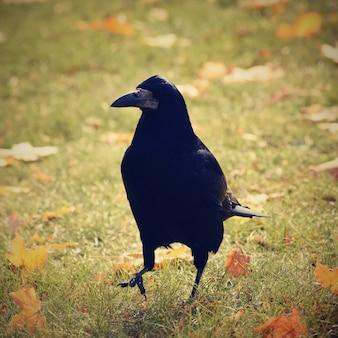 Bela imagem de um pássaro - corvo / corvo na natureza do outono. (Corvus frugilegus)