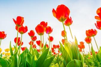 Belo bouquet de tulipas na primavera.