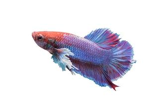 Betta peixe isolado no fundo branco