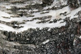 Birch, árvore, textura, fim, cima