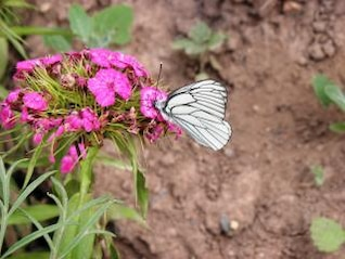 borboleta branca na flor rosa