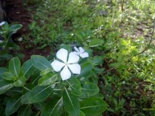 branco Savam nari flor branca