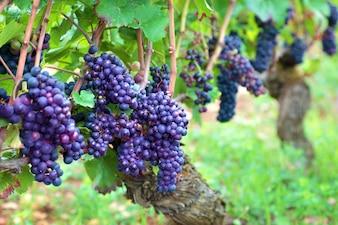Cachos de uvas crescem em campos da França