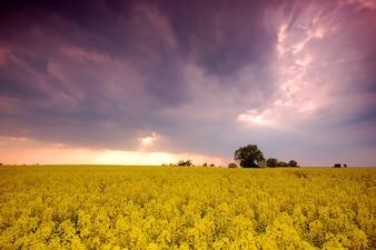 Campo de flores amarelas com nuvens