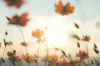 Campo de flores do cosmos