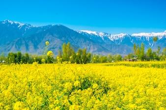 Campo de mostarda com lindas montanhas cobertas de neve Estado da Caxemira, Índia
