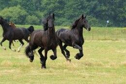 cavalos na Holanda, raça, negra