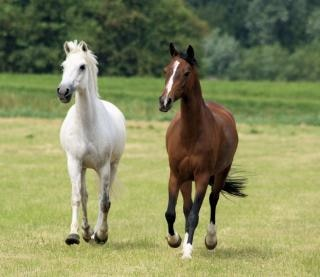 cavalos na Holanda frísios, celeiro