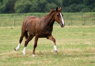 cavalos na Holanda