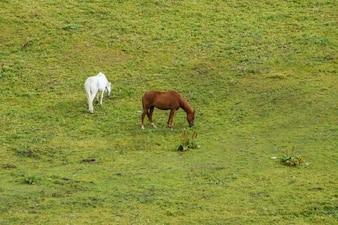 Cavalos na pastagem