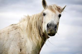 Close-up do cavalo branco