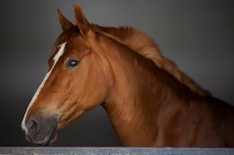 Close-up do cavalo marrom elegante