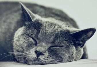 Closeup do gato britânico dormindo. Fundo escuro. Foco seletivo.