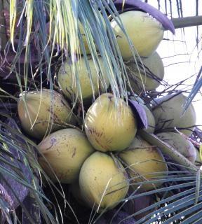 cocos crescem em uma árvore