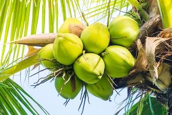 Cocos verdes do conjunto