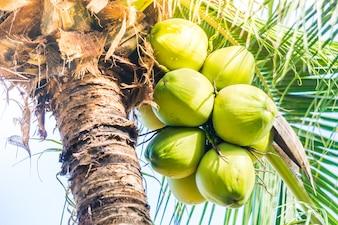 Cocos verdes que penduram de uma palmeira
