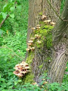 Cogumelos, árvores