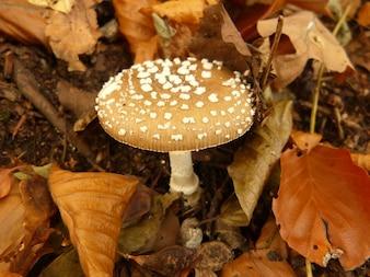 Cogumelos outono presente cogumelo tóxico