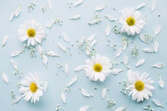 Composição delicada de margaridas, flores de respiração do bebê e pétalas brancas em uma superfície azul clara
