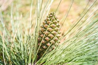 Cone de pinho verde