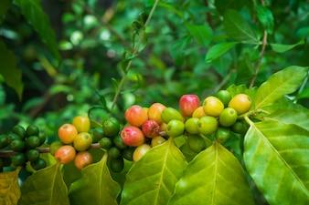 Corpo de café arábico maduro em ramo de árvore