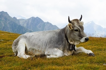 Vaca deitada