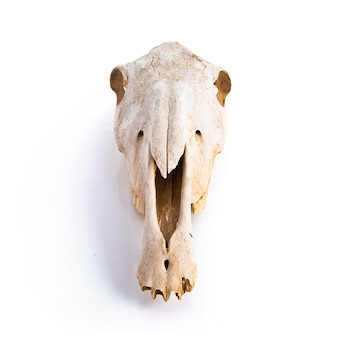 Crânio de cavalo