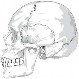 crânio humano (vista lateral)