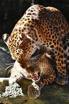 Criação de leopardo