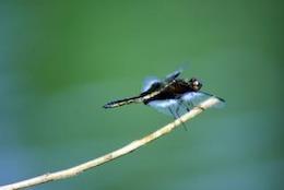 Dragon Fly, horizontal