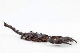 escorpião negro de perto se
