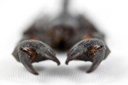 escorpião negro