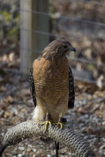 falcão bico de falcão penas