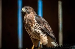 falcão caçador predador