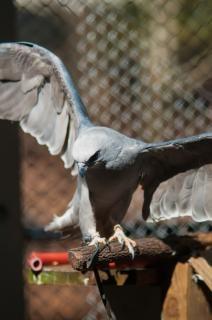 Falcão pássaro predador