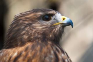 Falcão pássaro raptor