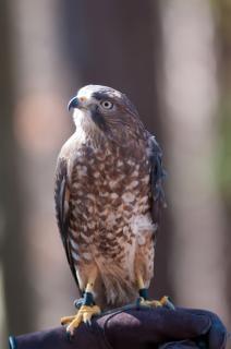 Falcão pássaro selvagem