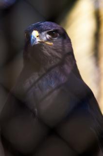 falcão penas predador