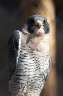 Falcão predador raptor