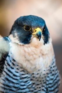 Falcão predador