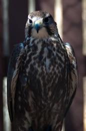 falcão raptor caçador de penas