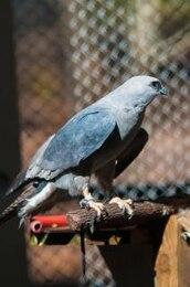 falcão raptor pássaro penas predador