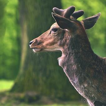 Fallow - veado. (Dama dama) Belo fundo natural com animais. Floresta e natureza com pôr do sol.