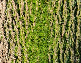 Feche acima de Moss na árvore. Fundo de vida natural. Feche acima da casca de árvore com musgo. Textura de casca de árvore com musgo verde