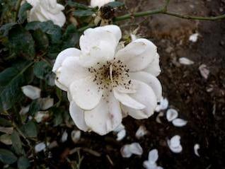 flor branca, flor