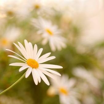Flor da margarida do vintage com fundo borrado