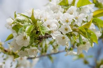 Flor de cerejeira durante a primavera 1