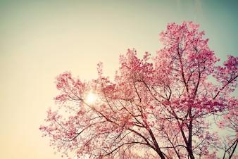 Flor de cerejeira vintage - flor de sakura. fundo da natureza (cor retro do efeito do filtro)